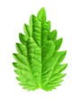 Mint leaf, vector illustration