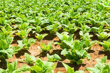Tobbaco plantation