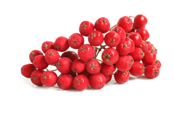 Branch of ashberry