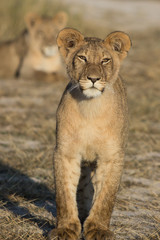 standing young lion