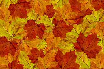 autumn maple leaves background  platanus I