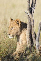 sitting young lion