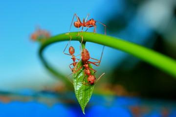 Ants on treetops