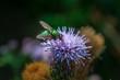 canvas print picture - Fliege auf einer Distelblüte