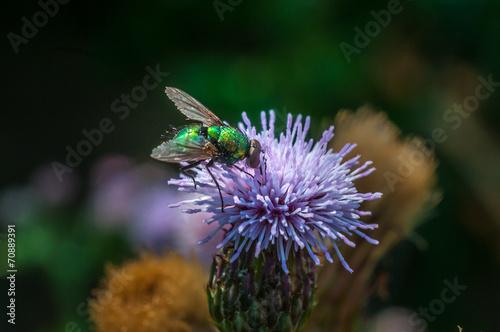 canvas print picture Fliege auf einer Distelblüte