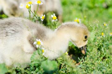 Little goslings grazing in the field