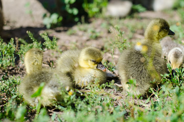 Little goslings grazing in the field