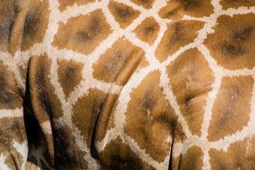 giraffa, dettaglio del mantello