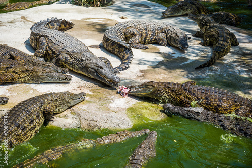 Fotobehang Krokodil Crocodiles fighting for food in park.