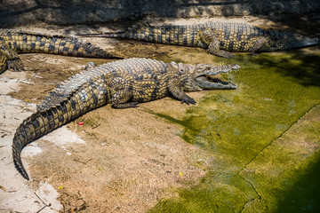 Crocodiles fighting for food in park.