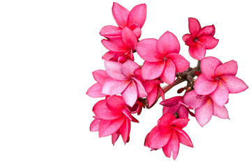 Pink frangipani isolated on white