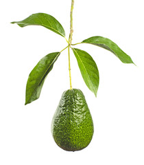 Branch of avocado