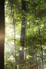Sonne im buchenwald