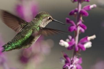 Selective focus on an Anna's hummingbird in flight.