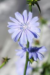 Chicory flower in the garden