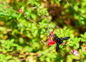 Xylocope carpenter bee