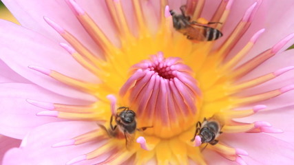 Macro close up bee collect  pollen on lotus flower.