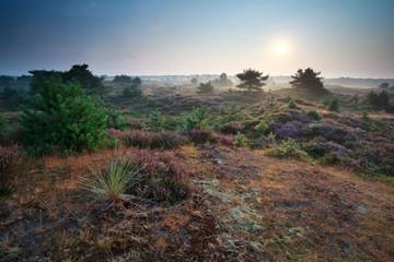 summer sunrise over heather dunes