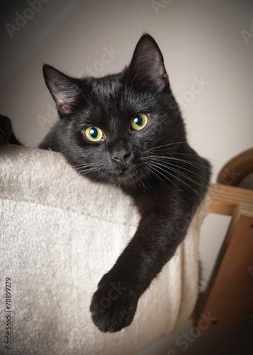 Spoed canvasdoek 2cm dik Kat Beautiful black cat