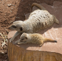 Female Meerkat with her cub