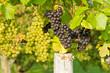 Blaue und weiße Weintrauben in Beuren