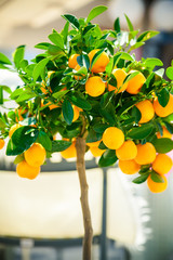small ornamental tangerine tree