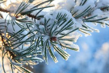Pine tree needle