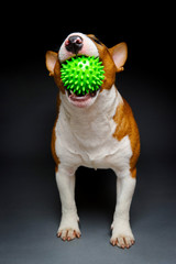 Funny bull terrier playing with spiked green ball