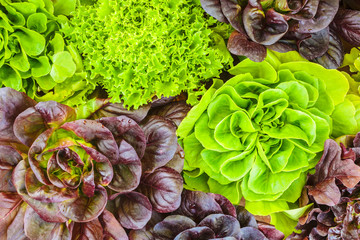 Various crops of fresh lettuce