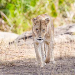 Focused lion walking towards the camera