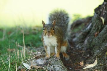 Gray Squirrel, Sciurus carolinensis