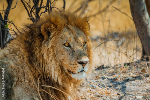 Canvas Zuid Afrika lion in africa