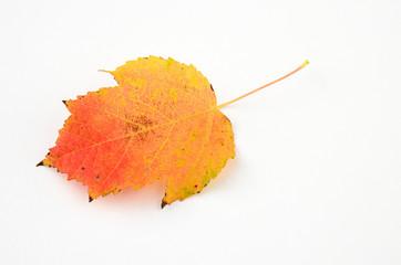 Herbstliches Blatt des Feuerahorns