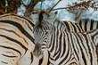canvas print picture - zebra in africa