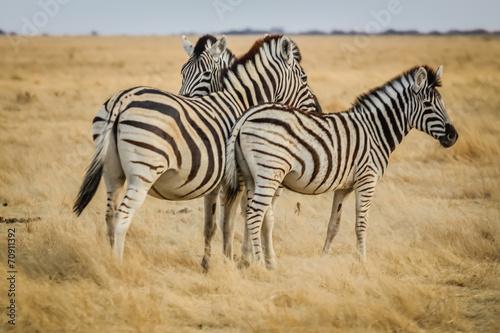 canvas print picture zebra in africa