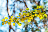 Autumn aspen leaves in green and yellow