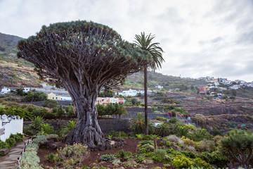 El Draco tree