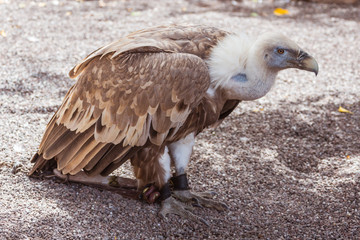 Vulture in the zoo