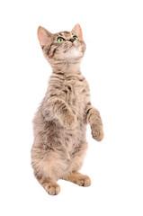 Brown tabby kitten standing on two feet