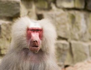 male hamadryas baboon portrait
