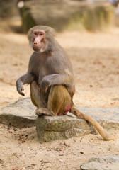 female hamadryas baboon portrait