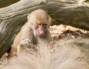 female hamadryas baboon is looking for fleas