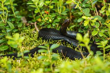 black viper snake basking in the sun in the grass