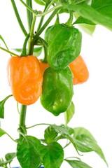 Habanero orange- peperoncini