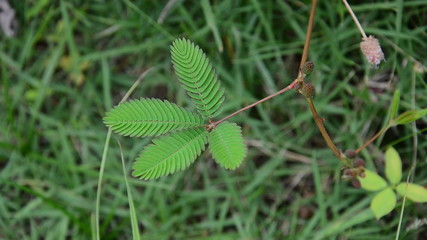Leaf of Mimosa pudica is retracting when touch. HD