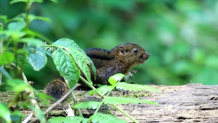 Three-striped Ground Squirrel (Lariscus insignis) in Mt.Kerinci