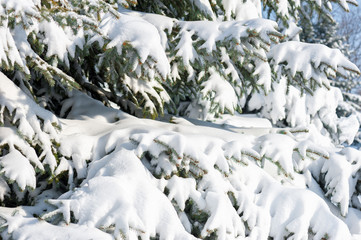 fir tree branches with snow