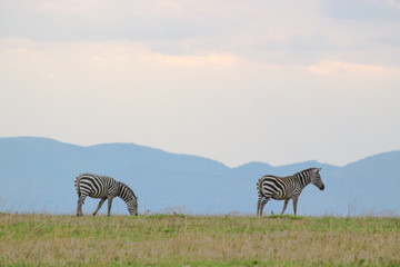 ZEBRA IN SERENGETI