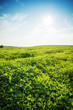 Green summer meadow on bright sunny day. Sunny landscape