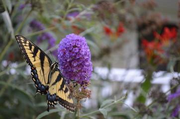 Monarch on bush